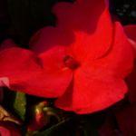 Bild: Fleißiges Lieschen Blüte rot Impatiens walleriana