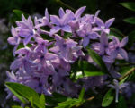 Flieder Bluete lila Syringa protolaciniata 01