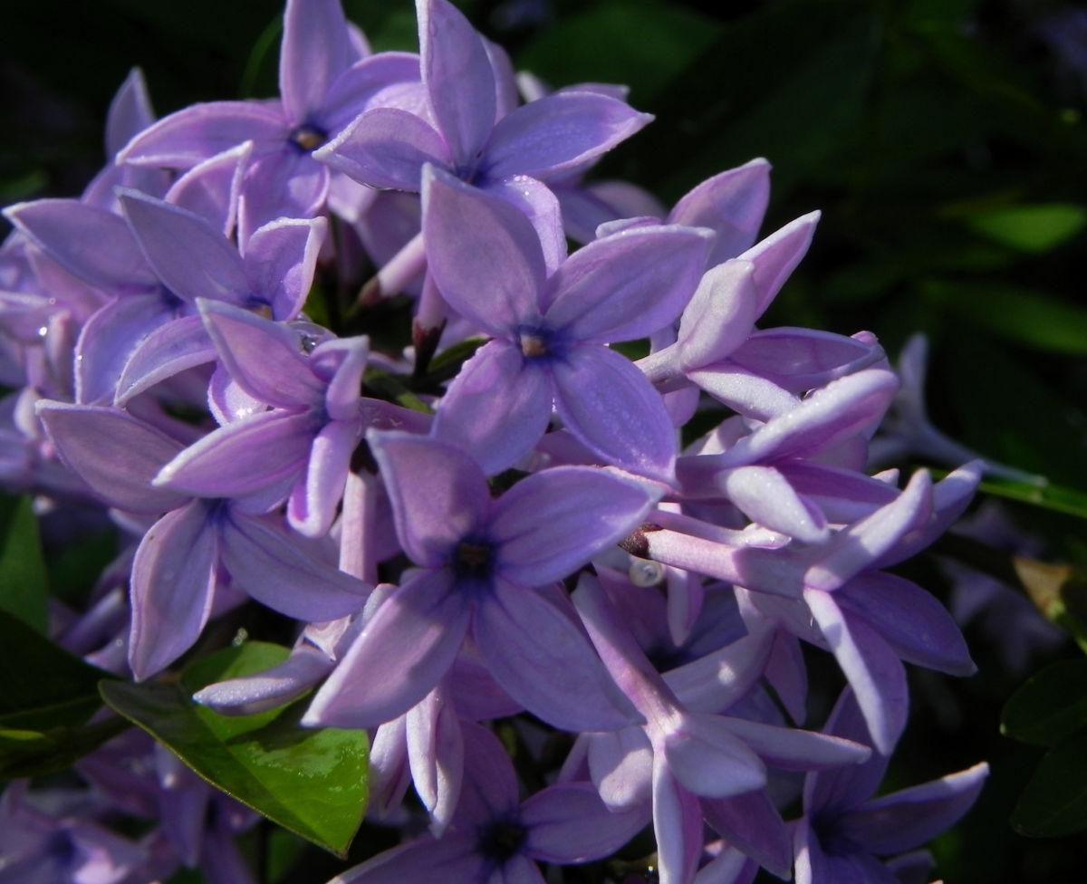 Flieder Bluete lila Syringa protolaciniata