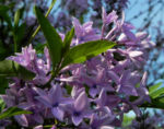 Flieder Bluete lila Syringa protolaciniata 05