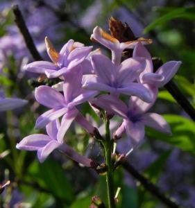 Flieder Bluete lila Syringa protolaciniata 07