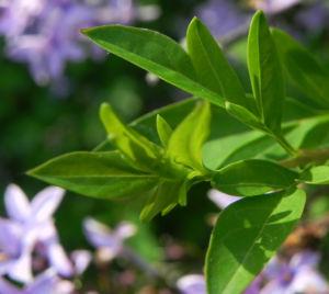 Flieder Bluete lila Syringa protolaciniata 09