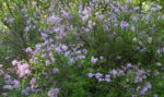 Bild: Flieder Blüte lila Syringa protolaciniata