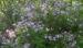 Zurück zum kompletten Bilderset Flieder Blüte lila Syringa protolaciniata