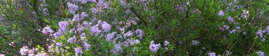 flieder-bluete-lila-syringa-protolaciniata