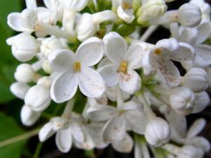 Flieder Blueten Syringa vulgaris 01