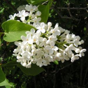 Flieder Blueten Syringa vulgaris 02