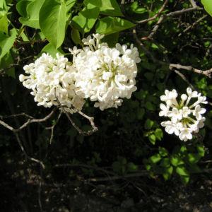 Flieder Blueten Syringa vulgaris 06