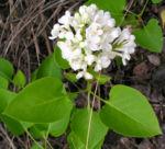 Bild:  Flieder Blüte weiß Syringa vulgaris