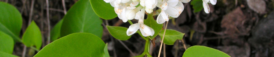 flieder-bluete-weiss-syringa-vulgaris