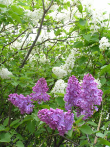 Flieder Blueten Syringa vulgaris 08