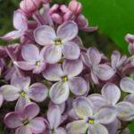 Flieder Blueten Syringa vulgaris 09