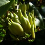 Flieder Frucht Kapsel Syringa vulgaris 03