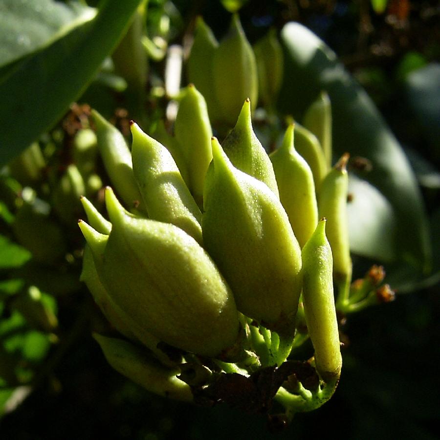 Flieder Frucht Kapsel Syringa vulgaris