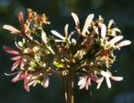 Bild: Flieder Strauch Blüte Syringa