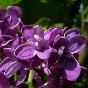 Flieder bordeaux Bluete Syringa vulgaris 01