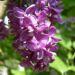 Zurück zum kompletten Bilderset Gemeiner Flieder bordeaux Blüte lila Syringa vulgaris