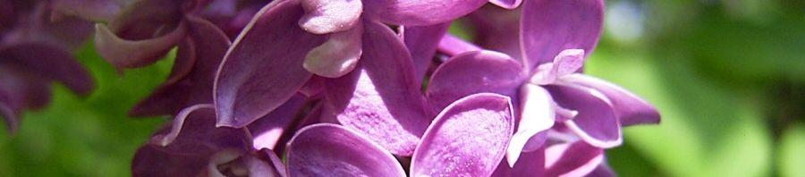 Anklicken um das ganze Bild zu sehen Gemeiner Flieder bordeaux Blüte lila Syringa vulgaris