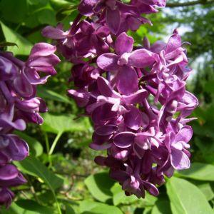 Flieder bordeaux Bluete Syringa vulgaris 03
