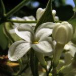 Flieder weiss bluehend Syringa vulgaris 01