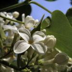 Flieder weiss bluehend Syringa vulgaris 02