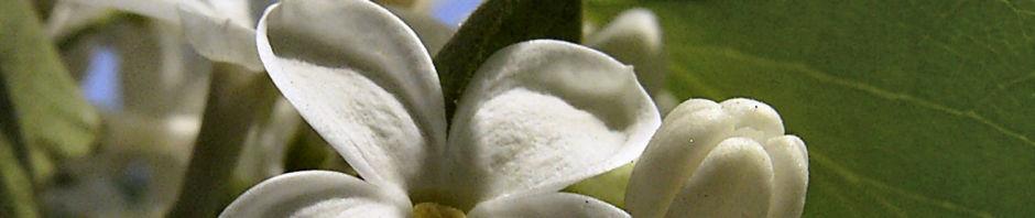 gemeiner-flieder-bluete-weiss-syringa-vulgaris