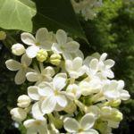 Flieder weiss bluehend Syringa vulgaris 03