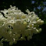 Flieder weiss bluehend Syringa vulgaris 04