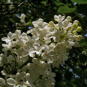 Flieder weiss bluehend Syringa vulgaris 05