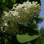 Flieder weiss bluehend Syringa vulgaris 06