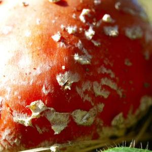 Fliegenpilz Kappe rot Armanita muscaria 05