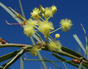 Flinders Range Akazie Winterakazie Bluete gelb Acacia iteaphylla 01