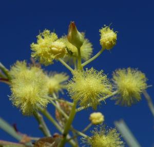 Bild: Flinders Range Akazie Winterakazie Bluete gelb Acacia iteaphylla