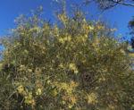 Flinders Range Akazie Winterakazie Bluete gelb Acacia iteaphylla 09