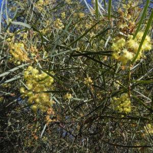 Flinders Range Akazie Winterakazie Bluete gelb Acacia iteaphylla 10