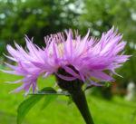 Flockenblume Bluete rosa Centaurea 02