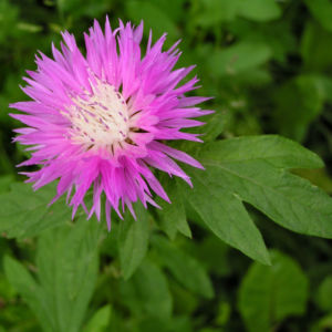 Flockenblume Bluete rosa Centaurea 03