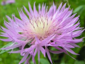 Flockenblume Bluete rosa Centaurea 04