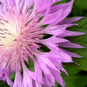 Flockenblume Bluete rosa Centaurea 05
