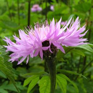 Flockenblume Bluete rosa Centaurea 06