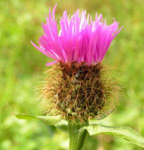 Flockenblume Blute pink Centaurea 04