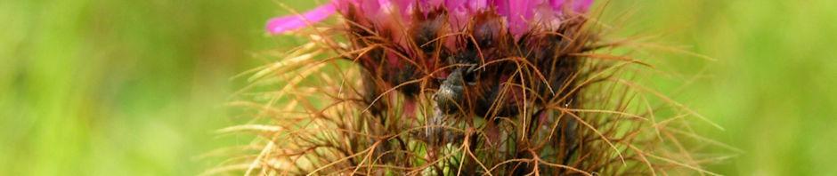 flockenblume-blute-pink-centaurea