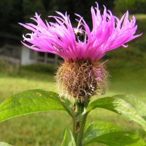 Flockenblume Blute pink Centaurea 09