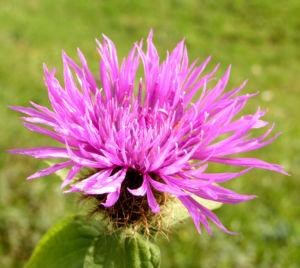 Flockenblume Blute pink Centaurea 16