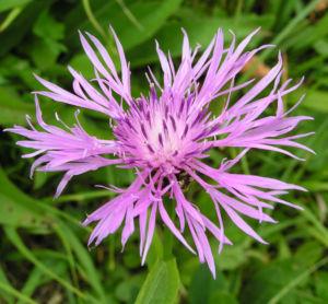 Flockenblume Blute pink Centaurea 19