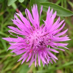 Flockenblume Blute pink Centaurea 20