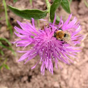 Flockenblume Blute pink Centaurea 21