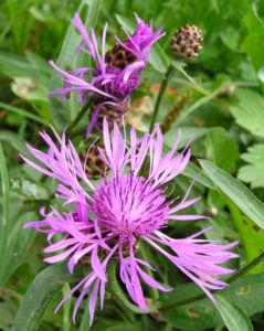 Flockenblume Blute pink Centaurea 25
