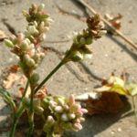 Floh Knoeterich Polygonum persicaria 02