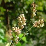 Floh Knoeterich Polygonum persicaria 03